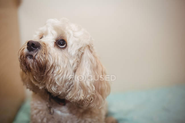 Close-up of toy poodle puppy at dog care center — Stock Photo