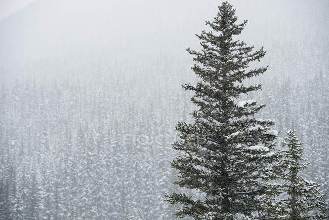 Trees covered with snow in the forest in winter — Stock Photo