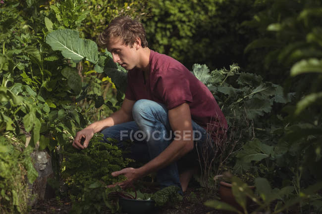 Man cutting lettuce leaves from plant in vegetable garden — Foto stock