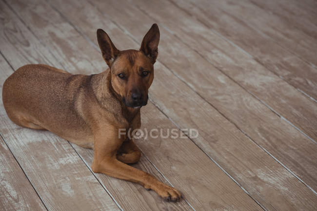 Dog resting on wooden floor outside home — Stock Photo