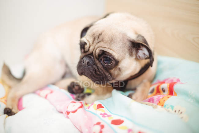 Pug dog resting on dog bed at dog care center — Stock Photo