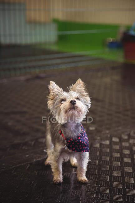 Close-up de yorkshire terrier filhote de cachorro olhando para o centro de cuidados do cão — Fotografia de Stock