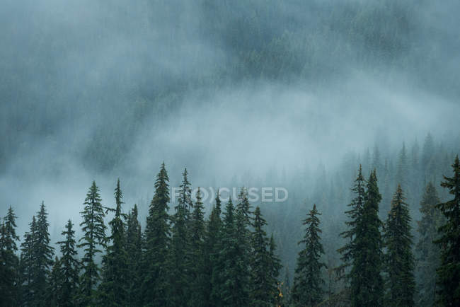 Scenic view of pine trees in forest in foggy weather — Stock Photo