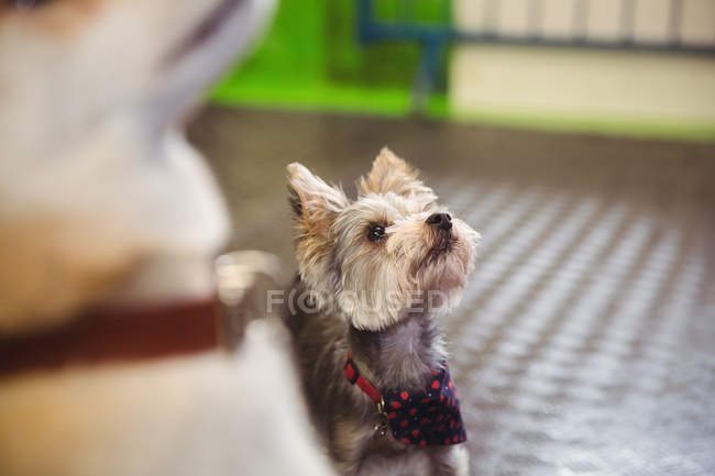 Закри Йоркширський тер'єр цуценя переглядає собака догляд центр — стокове фото