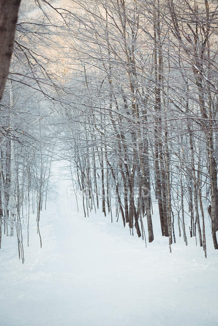Snow covered path passing through bare trees during winter — Stock Photo