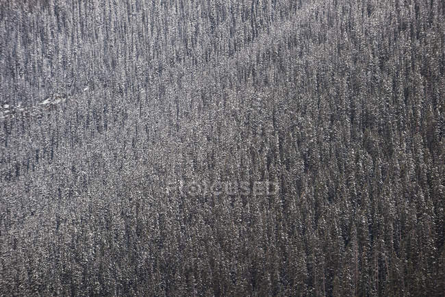 Scenic view of pine trees in wintry forest — Stock Photo