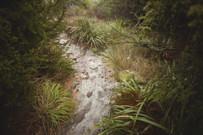 Кам'янисті доріжки, проходячи через лісовою рослинністю — стокове фото