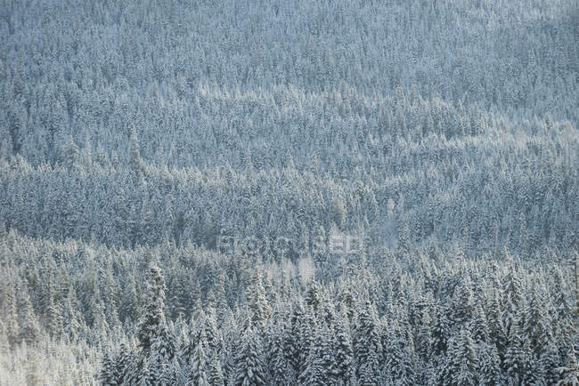 Snow covered trees in forest, Banff, Alberta, Canada — Stock Photo