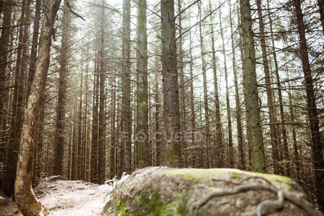 Vista de baixo ângulo de árvores altas na floresta — Fotografia de Stock