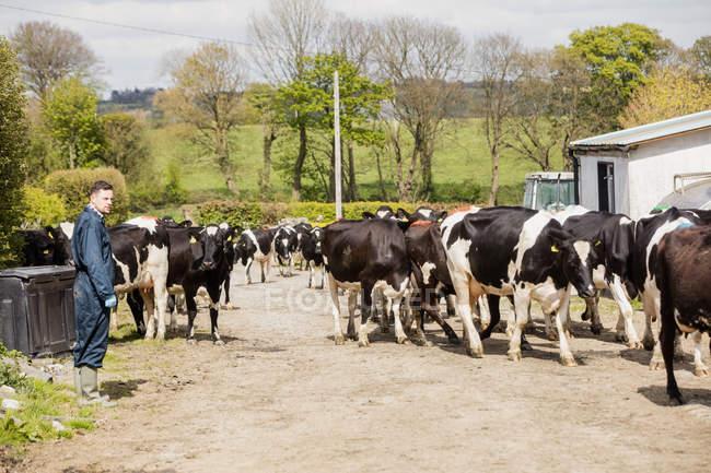 Seitenansicht eines Bauern, der neben Kühen auf einem Feldweg steht — Stockfoto