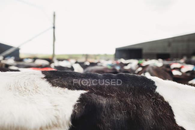Bild von Kühen vor Stall gegen den Himmel — Stockfoto