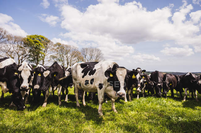 Kühe grasen auf Wiese vor bewölktem Himmel — Stockfoto