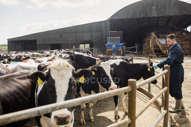 Bauer streichelt Kuh an sonnigem Tag über Zaun — Stockfoto