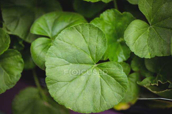 Gros plan des feuilles vertes en jardinerie — Photo de stock