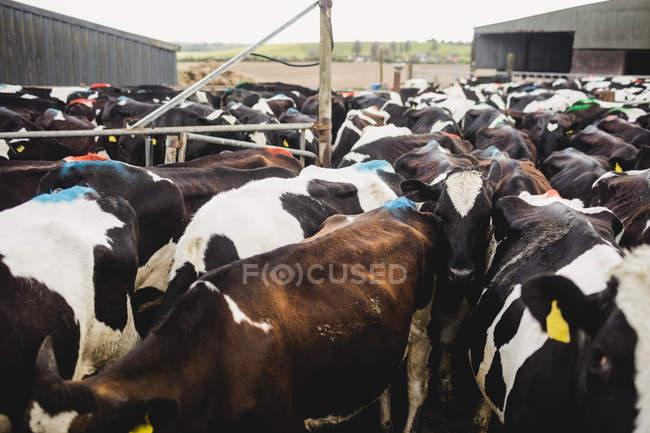 Rinder stehen am Zaun am Stall — Stockfoto