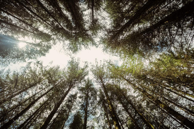 Low angle view of trees growing in forest against sky — Stock Photo