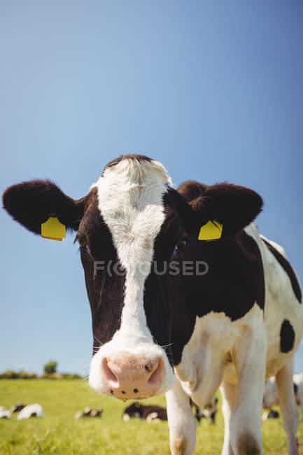Корова стоит на травянистом поле и смотрит в камеру — стоковое фото