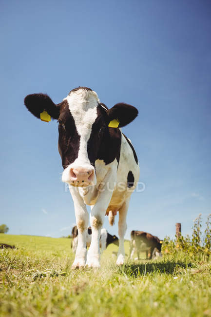 Pie de la vaca en el campo de hierba y mirando en cámara - foto de stock