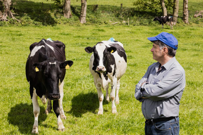 Agricultor confiante aguardando vacas no campo gramado — Fotografia de Stock