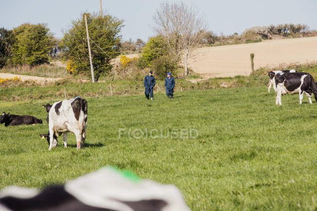 Cows grazing while farmers walking on grassy field — Stock Photo