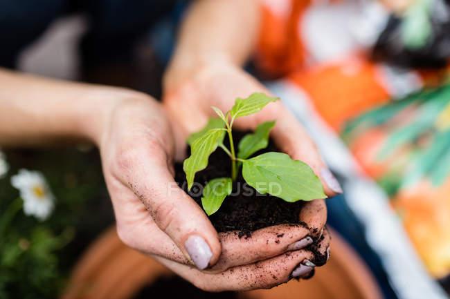 Обрезанное изображение садовника, держащего растение с почвой в руках в центре сада — стоковое фото