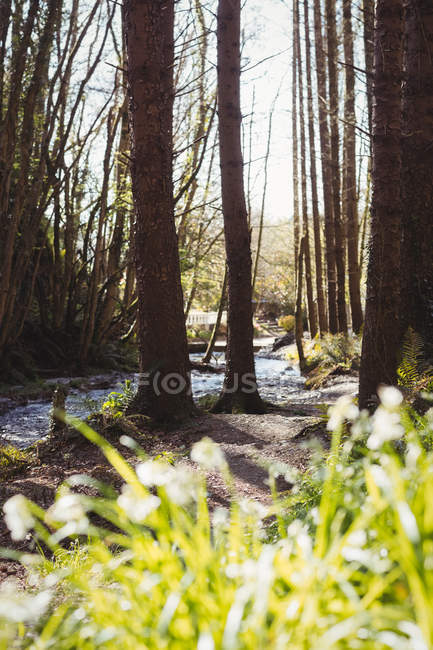 Stream flowing amidst trees in woodland — Stock Photo