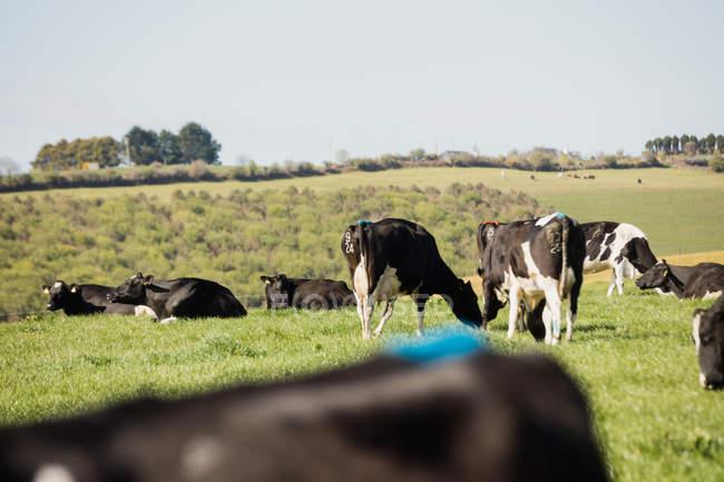 Vacas pastando en paisaje herboso contra el cielo despejado - foto de stock