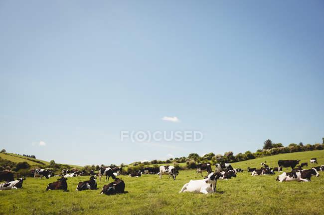 Mandria di mucche nel campo erboso verde alla luce del sole — Foto stock