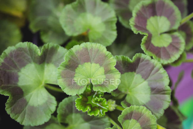 Заделывают зеленых листьев в садовом центре — стоковое фото