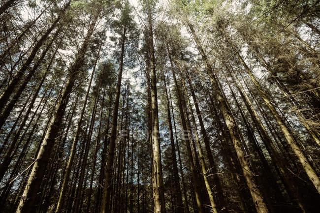 Vista de baixo ângulo das árvores que crescem na floresta — Fotografia de Stock