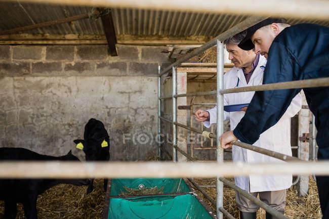Lavoratore agricolo e veterinario che esamina i vitelli da recinzione al capannone — Foto stock