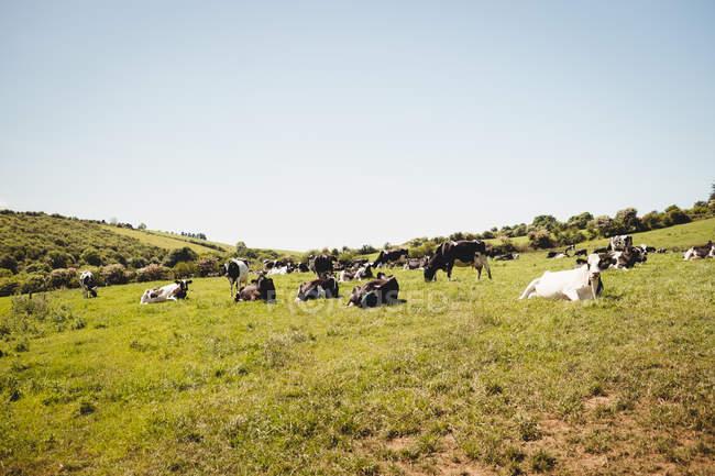 Herd of cows in grassy field in daytime — Stock Photo