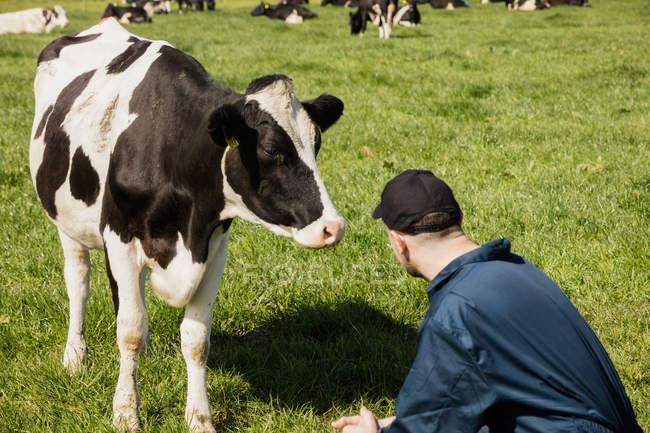 Работник фермы, Крадущийся корова на травянистые поля — стоковое фото
