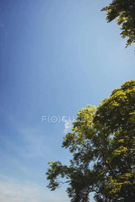 Зеленые деревья листвы против голубого неба — стоковое фото