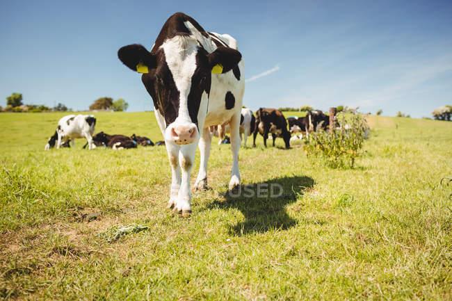 Mucca in piedi sul campo erboso e guardando a porte chiuse — Foto stock