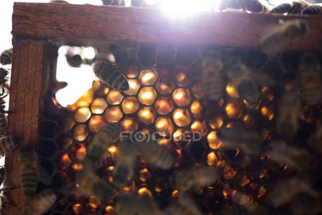 Close up of bees on honeycomb frame — стоковое фото