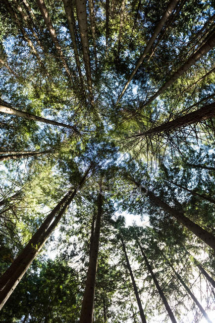 Upward view of trees in forest in sunlight — Stock Photo