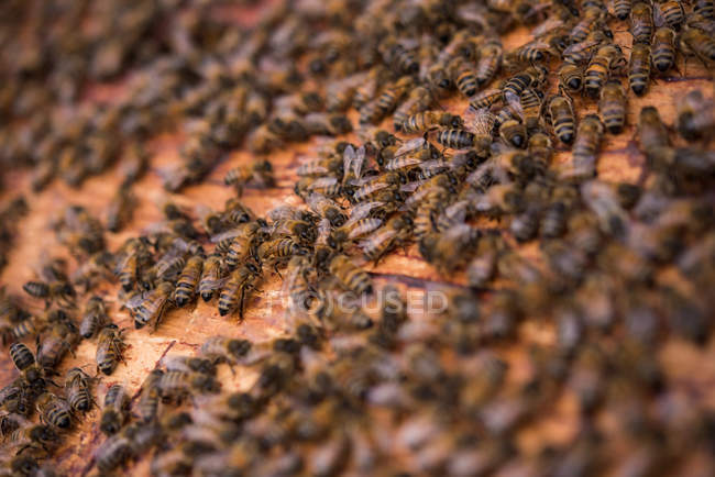 Close up of bees on honeycomb frame — Stock Photo