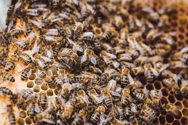 Заделывают мед пчелы рамы покрыты пчел — стоковое фото