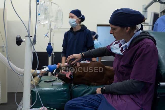 Женщины хирург, изучения лошадь в театре операции в больнице — стоковое фото
