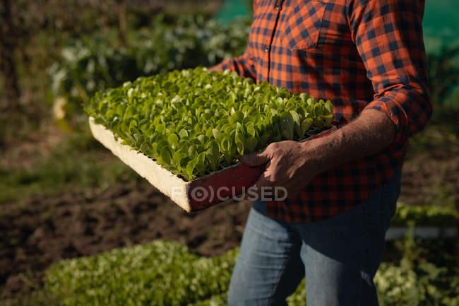 Der mittlere Teil der männlichen Bauern sammelt die Ernte vom Hof ein. er hält Schachtel mit Pflanzen. — Stockfoto
