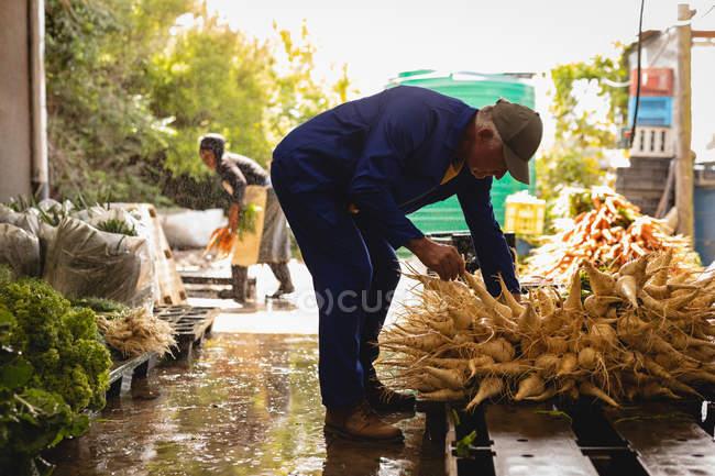 Vista lateral del agricultor mayor caucásico que organiza rábano cosechado en el mercado de frutas y verduras - foto de stock