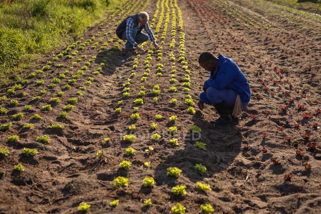 Seitenansicht eines älteren kaukasischen Bauern und eines jungen afrikanisch-amerikanischen Farmers bei der Untersuchung einer Rettichpflanze auf dem Feld an einem sonnigen Tag — Stockfoto