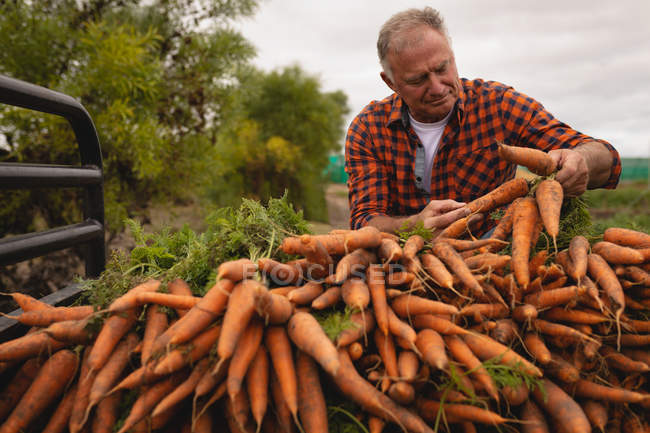 Front view of a senior Caucasian male farmer loading harvested carrots in vehicle on a sunny day — Stock Photo
