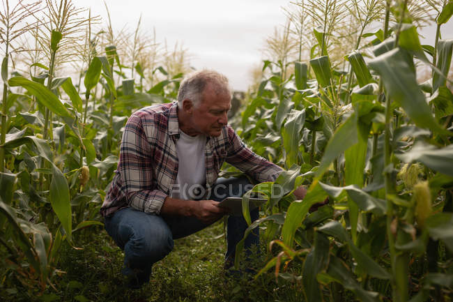 Front view of senior Caucasian male farmer looking at corn plant in the field at farm while holding digital tablet — Stock Photo