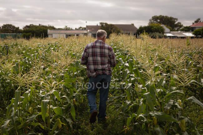 Rear view of senior Caucasian male farmer walking in a corn field at farm — Stock Photo