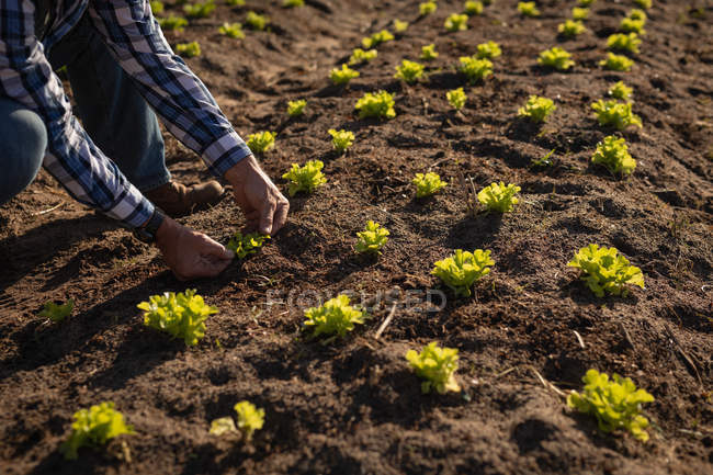 Close up of active male farmer planting the radish plant in the field on a sunny day — Stock Photo