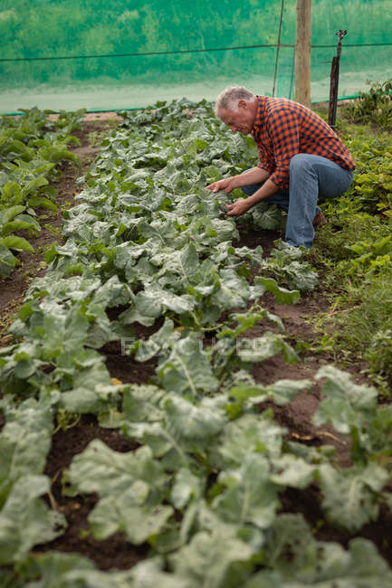 Side view of a senior Caucasian male farmer looking at cauliflower plant in a greenhouse at farm — Stock Photo