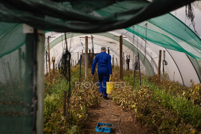 Rear view of senior Caucasian male farmer carrying bucket of tomatoes in greenhouse at farm — Stock Photo