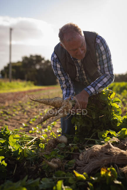 Front view of senior Caucasian male farmer holding harvested radish on a sunny day — Stock Photo